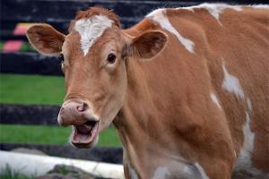 CowSurprised