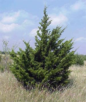 Eastern Cedar Tree
