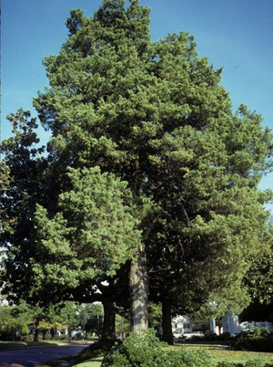 Eastern Cedar Trees grow quickly