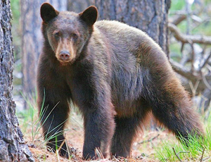 Black bears are being seen in parts of Oklahoma where no record of sightings exist in modern times. (Mark L. Watson/Flickr CC BY-NC-ND2.0)
