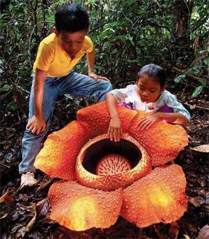 Rafflesia arnoldii
