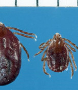 Rare tick turns up in Arkansas
